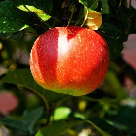 Apple for Sale