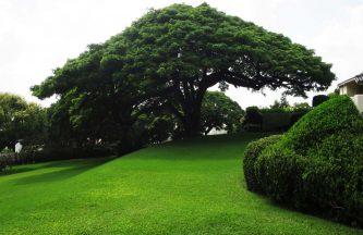 Albizia-Saman-Rain-Tree