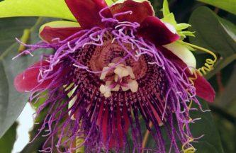 Passiflora-Quandrangularis-Giant-Grandilla-0-870x870